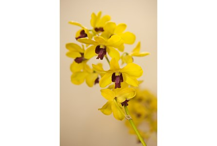 Picture-24X36 Yellow Orchid By Karyn Millet
