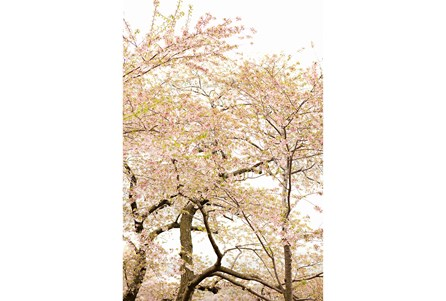 Picture-24X36 Cherry Blossom Tree By Karyn Millet