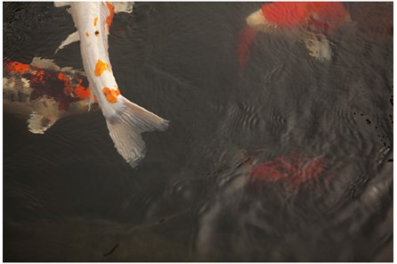 Picture-36X24 Coy Koi By Karyn Millet - Main