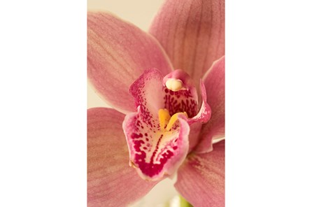 Picture-24X36 Pink Orchid By Karyn Millet - Main