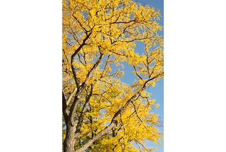 Picture-24X36 Yellow Tree By Karyn Millet