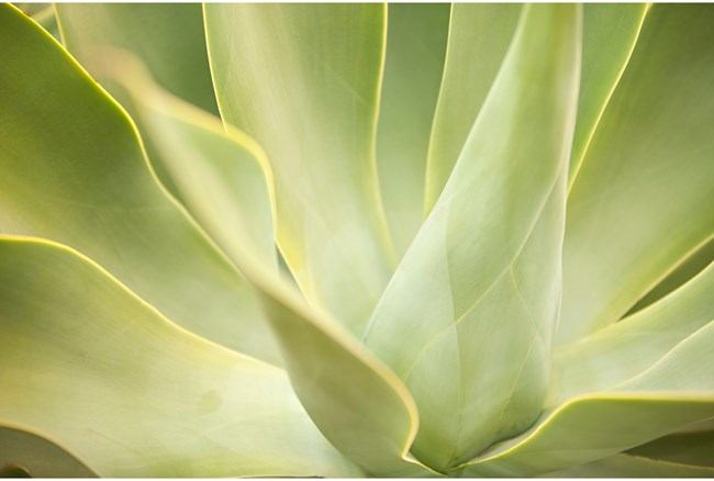 Picture-36X24 Agave By Karyn Millet