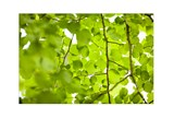 Picture-Green Canopy - Signature