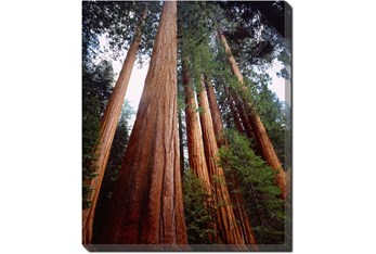 Picture-20X24 Redwoods