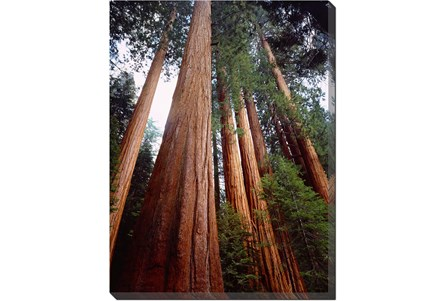 Picture-36X48 Redwoods - Main