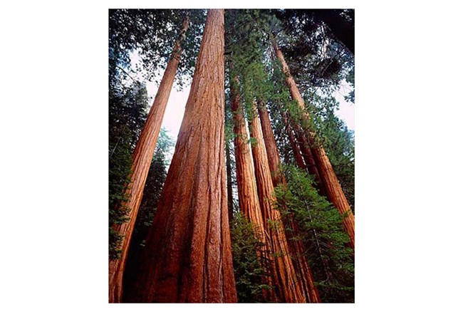 Picture-40X50 Redwoods - 360