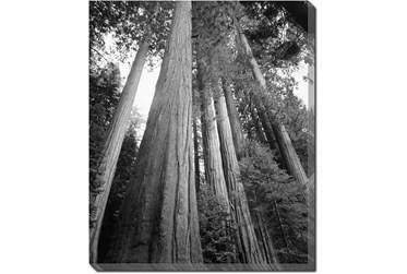 Picture-20X24 B&W Redwoods