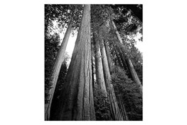 Picture-36X48 B&W Redwoods
