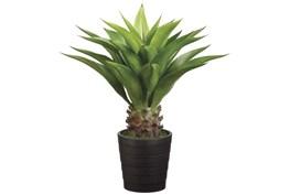 Plant-32 Inch Agave Attenuata Plant
