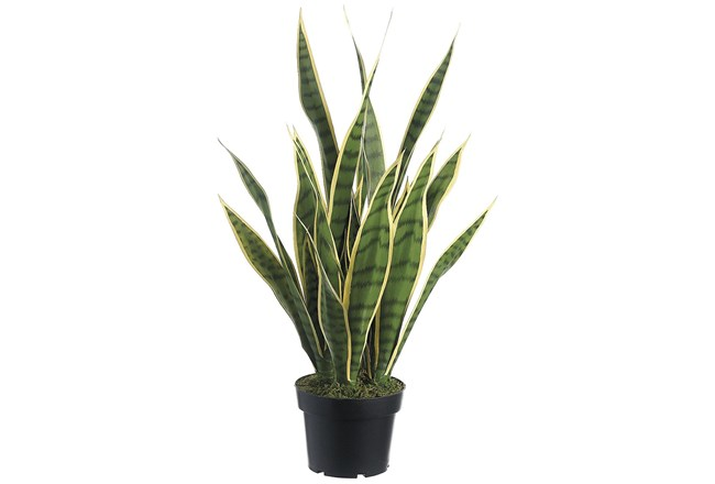 Garden-24 Inch Sansevieria In Pot - 360