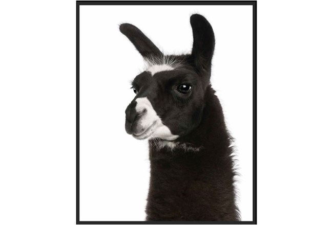 Picture-Llama Framed Canvas 23X29 - 360