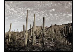 50X38 Cactus Summit I