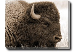 40X30 Buffalo With Gallery Wrap Canvas