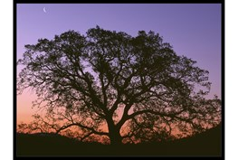 52X42 Tree At Sunset With Black Frame